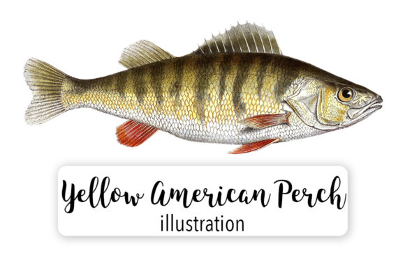 Yellow American Perch Watercolor Svg Graphic Illustrations By Enliven Designs