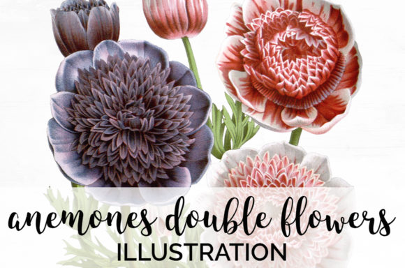 Anemones Double Flowers Graphic Illustrations By Enliven Designs - Image 1