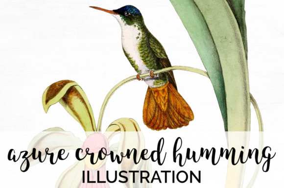 Azure Crowned Hummingbird Graphic