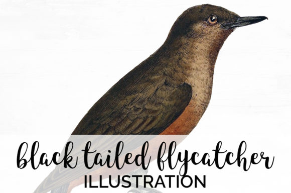 Black Tailed Flycatcher Graphic Illustrations By Enliven Designs