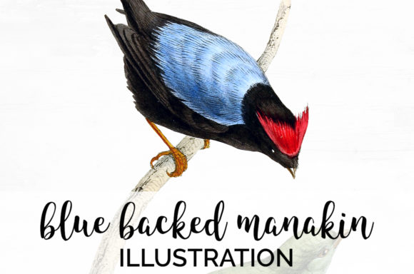 Blue Backed Manakin Graphic Illustrations By Enliven Designs