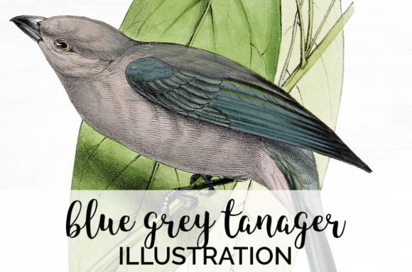 Blue Grey Tanager Graphic Illustrations By Enliven Designs