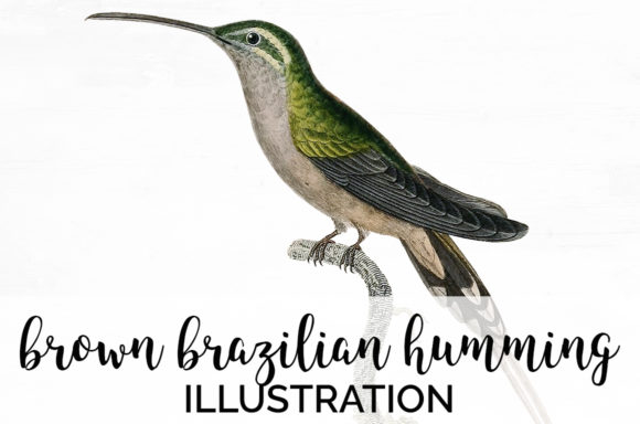 Brown Brazilian Hummingbird Graphic Illustrations By Enliven Designs