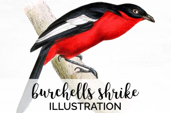 Burchells Shrike Graphic Illustrations By Enliven Designs