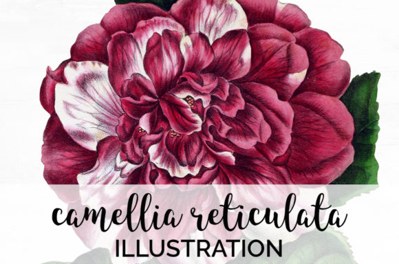 Camellia Reticulata Graphic Illustrations By Enliven Designs