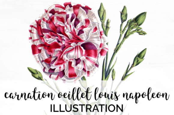 Carnation Eeillet Louis Napoleon Graphic Illustrations By Enliven Designs