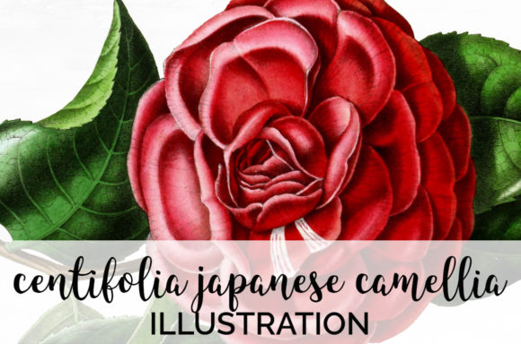 Centifolia Japanese Camellia Graphic Illustrations By Enliven Designs