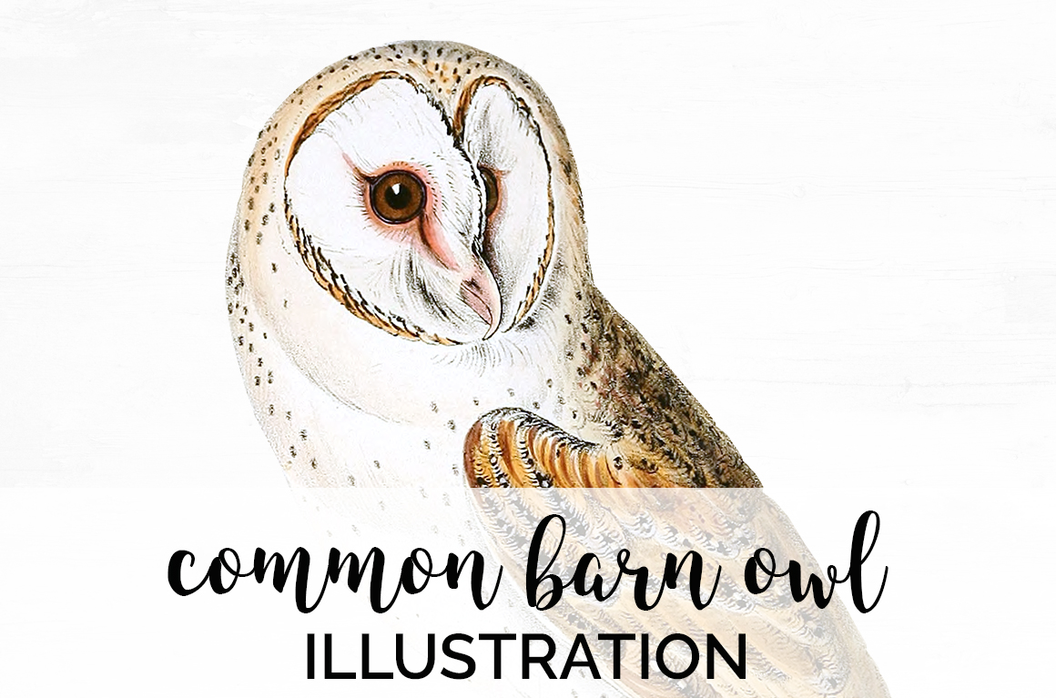 Download Free Common Barn Owl Graphic By Enliven Designs Creative Fabrica for Cricut Explore, Silhouette and other cutting machines.