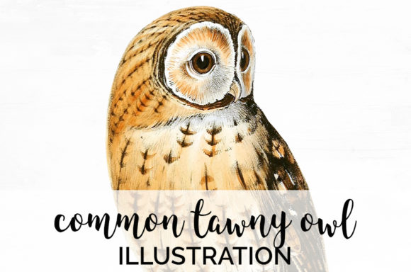Common Tawny Owl Graphic Illustrations By Enliven Designs