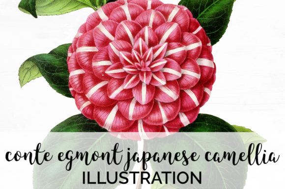 Conte Egmont Japanese Camellia Graphic Illustrations By Enliven Designs