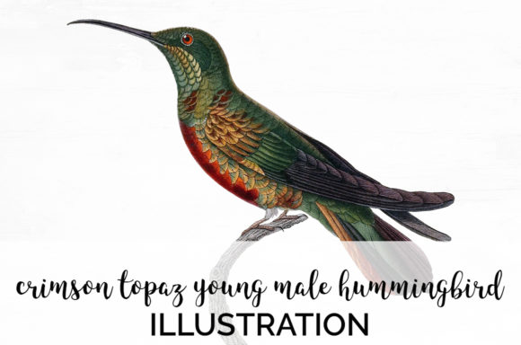 Crimson Topaz Young Male Hummingbird Graphic Illustrations By Enliven Designs