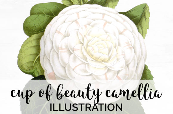 Cup of Beauty Camellia Graphic Illustrations By Enliven Designs - Image 1
