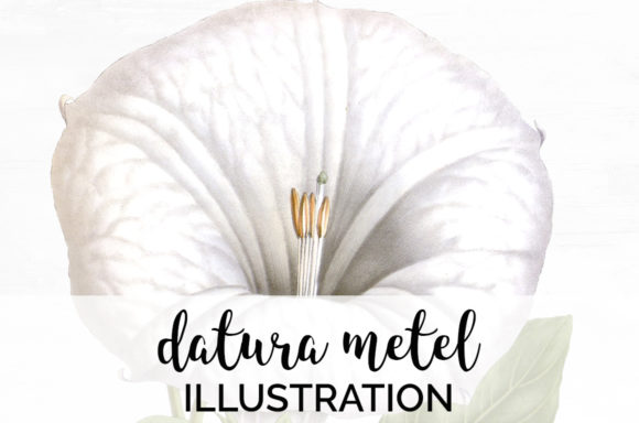 Datura Metel Graphic Illustrations By Enliven Designs - Image 1