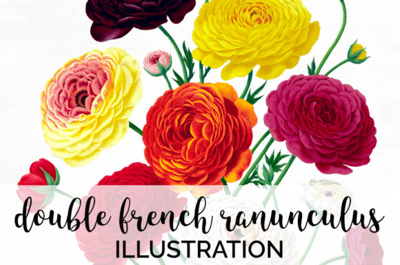 Double French Ranunculus Bouquet Graphic Illustrations By Enliven Designs