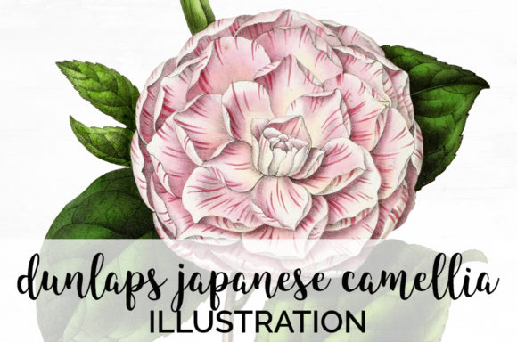 Dunlaps Japanese Camellia Graphic Illustrations By Enliven Designs