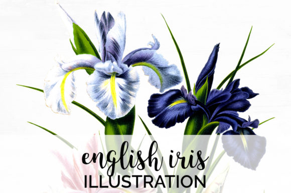 English Iris Graphic Illustrations By Enliven Designs