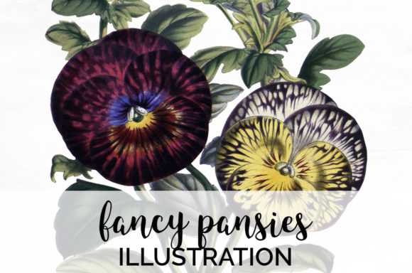Fancy Pansies Graphic Illustrations By Enliven Designs