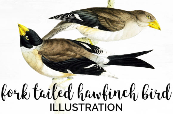 Fork Tailed Hawfinch Bird Graphic Illustrations By Enliven Designs