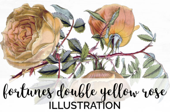 Fortunes Double Yellow Rose Graphic Illustrations By Enliven Designs