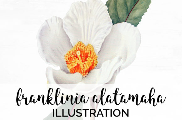 Franklinia Alatamaha Graphic Illustrations By Enliven Designs - Image 1