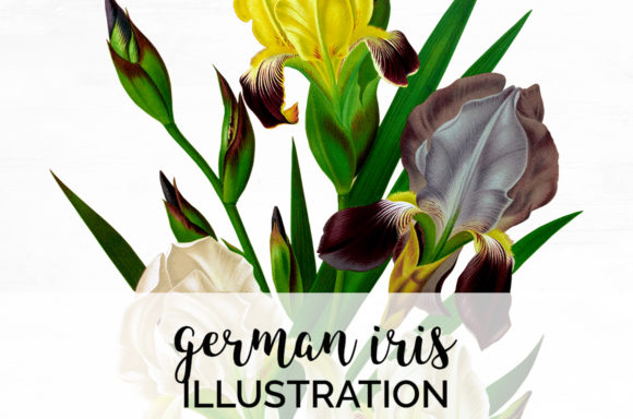 German Iris Graphic Illustrations By Enliven Designs
