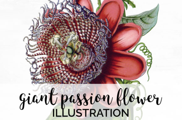 Giant Passion Flower Graphic Illustrations By Enliven Designs
