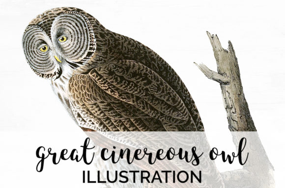 Great Cinereous Owl Grafik Illustrationen von Enliven Designs