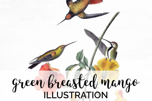 Green-Breasted Mango Hummingbird Graphic Illustrations By Enliven Designs