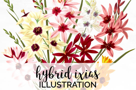 Hybrid Ixias Graphic Illustrations By Enliven Designs