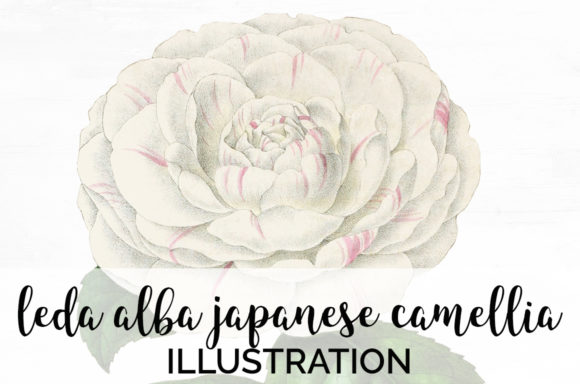 Leda Alba Japanese Camellia Graphic Illustrations By Enliven Designs