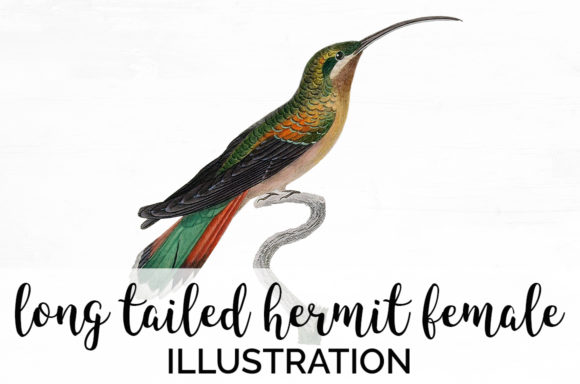 Long Tailed Hermit Female Hummingbird Graphic Illustrations By Enliven Designs