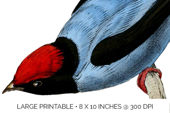 Long Tailed Manakin Graphic Illustrations By Enliven Designs - Image 3