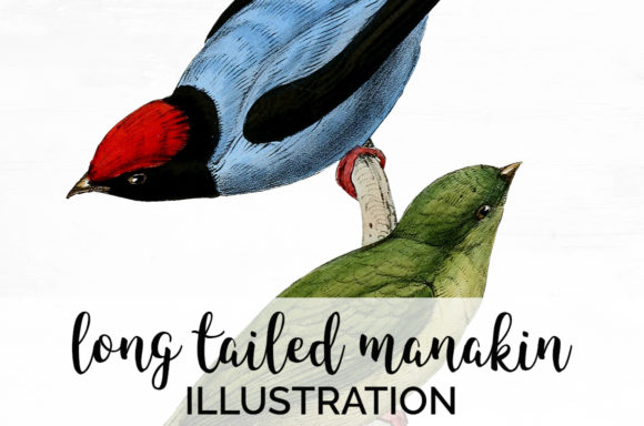 Long Tailed Manakin Graphic Illustrations By Enliven Designs - Image 1