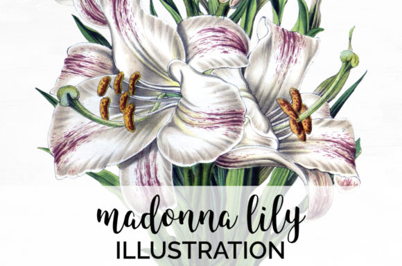 Madonna Lily Graphic Illustrations By Enliven Designs