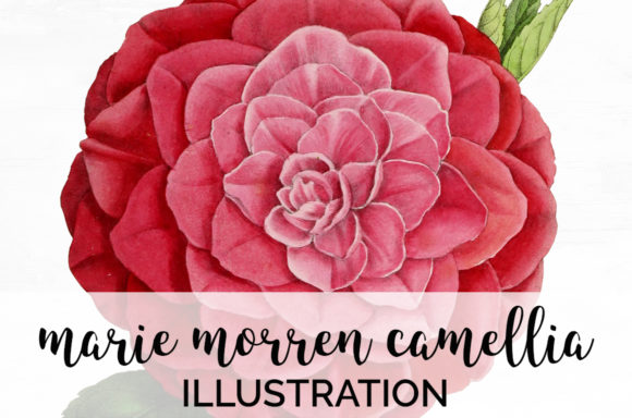 Marie Morren Camellia Graphic Illustrations By Enliven Designs