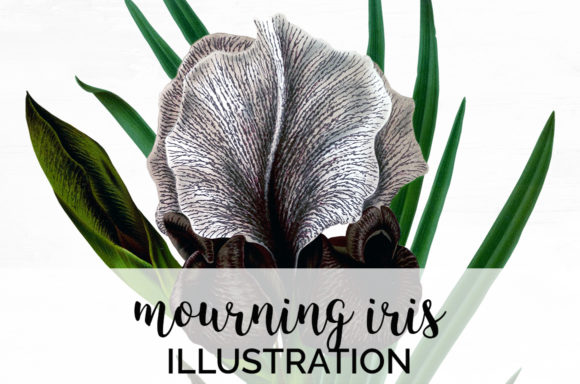 Mourning Iris Graphic Illustrations By Enliven Designs
