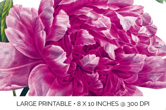 Pink Mountain Peony Graphic Illustrations By Enliven Designs - Image 3