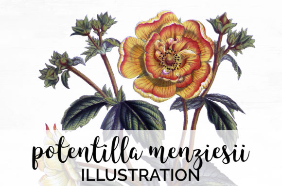 Potentilla Menziesii Graphic Illustrations By Enliven Designs