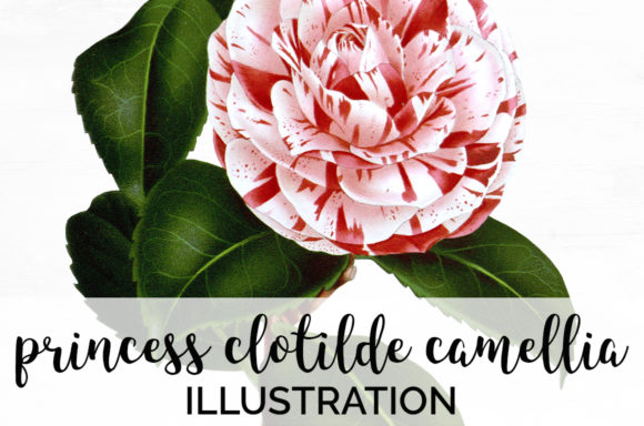 Princess Clotilde Camellia Graphic Illustrations By Enliven Designs