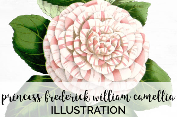 Princess Frederick William Camellia Graphic Illustrations By Enliven Designs