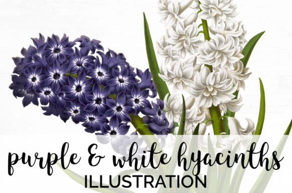 Purple and White Hyacinths Graphic Illustrations By Enliven Designs