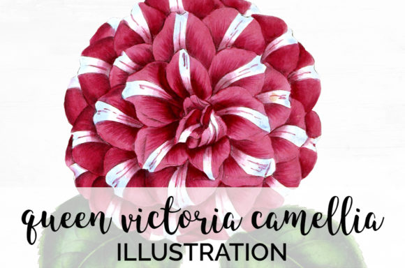 Queen Victoria Camellia Graphic Illustrations By Enliven Designs - Image 1