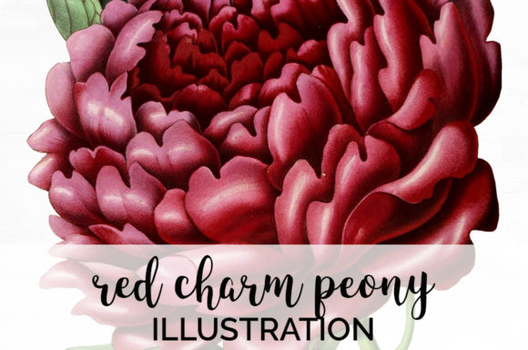 Red Charm Peony Graphic Illustrations By Enliven Designs
