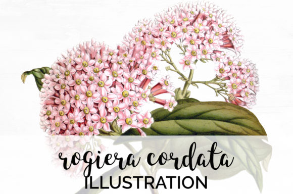 Rogiera Cordata Graphic Illustrations By Enliven Designs