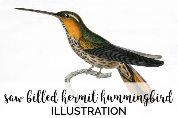 Saw Billed Hermit Hummingbird Graphic Illustrations By Enliven Designs
