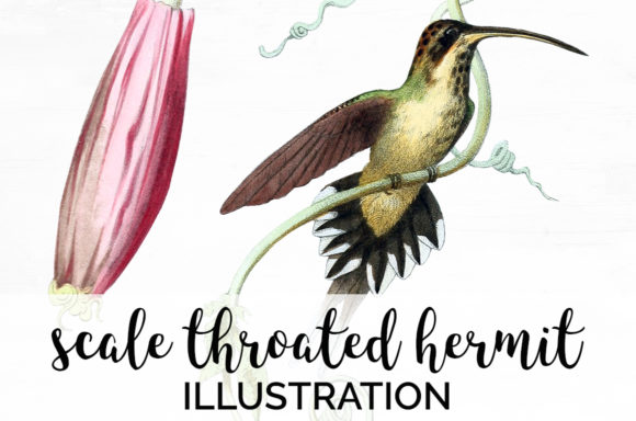 Scale Throated Hermit Graphic Illustrations By Enliven Designs