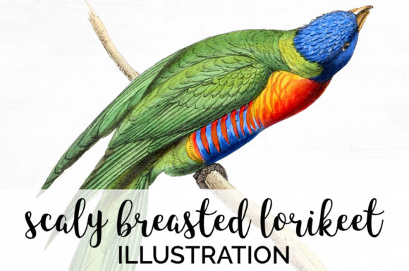Scaly Breasted Lorikeet Graphic Illustrations By Enliven Designs