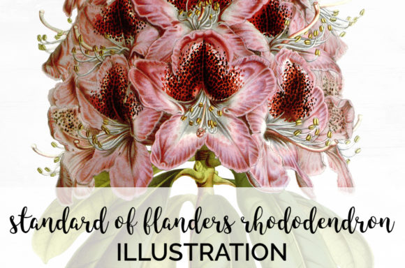 Standard of Flanders Rhododendron Graphic Illustrations By Enliven Designs