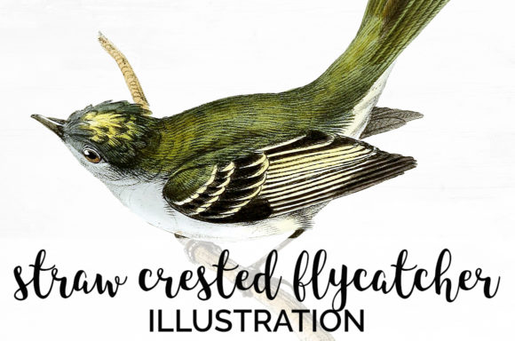 Straw Crested Flycatcher Graphic Illustrations By Enliven Designs