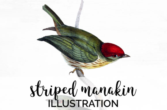 Striped Manakin Graphic Illustrations By Enliven Designs